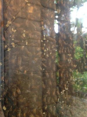 The observation hive in London zoo